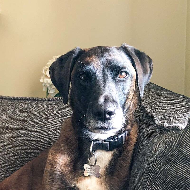 lab mix dog sitting on a couch.