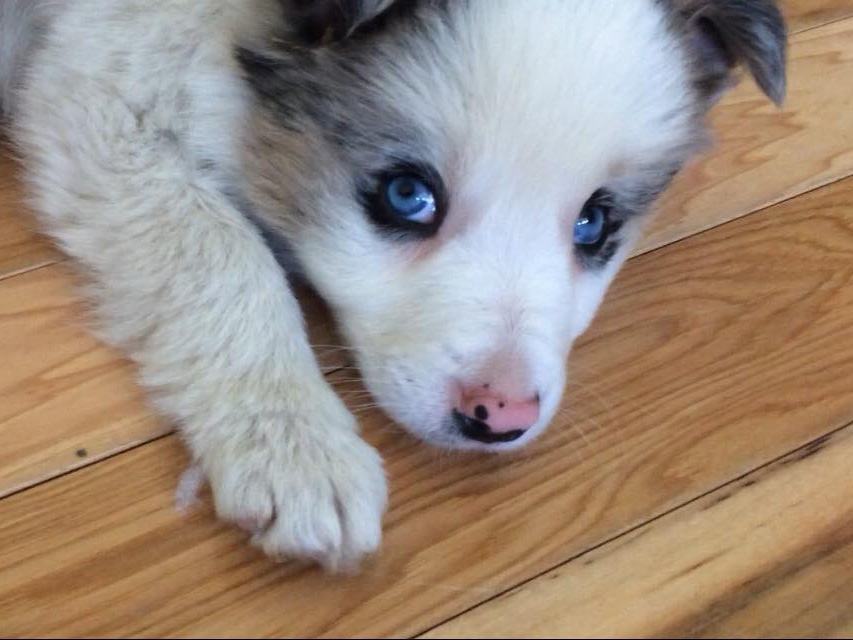 border collie puppy with blue eyes looking at camera.