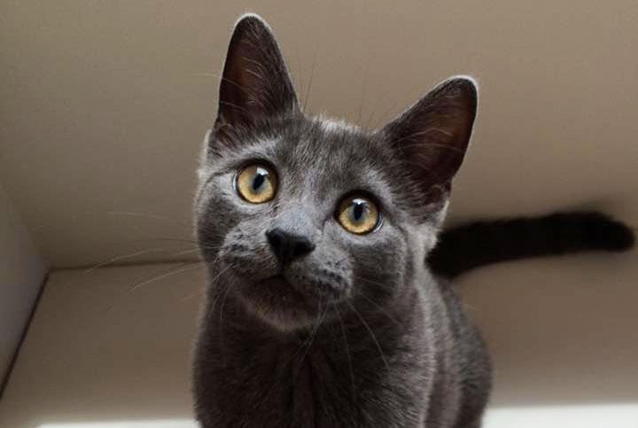 gray cat looking at camera.