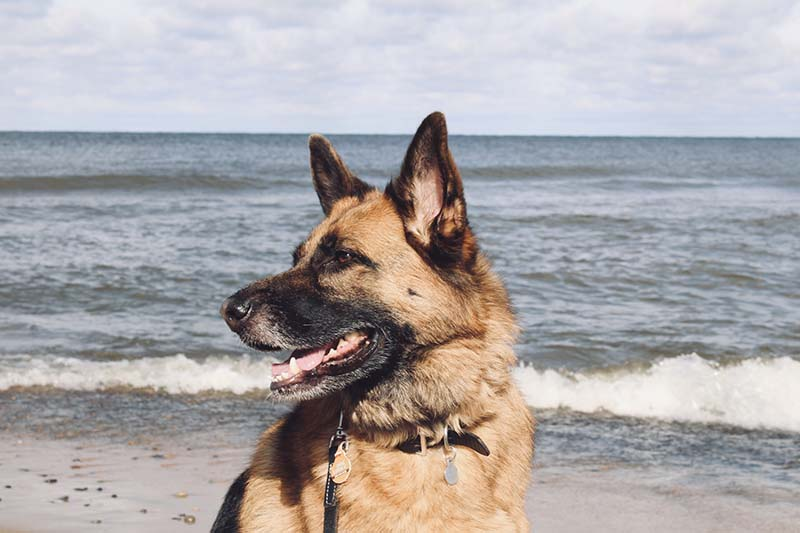 german shepherd in front of lake.
